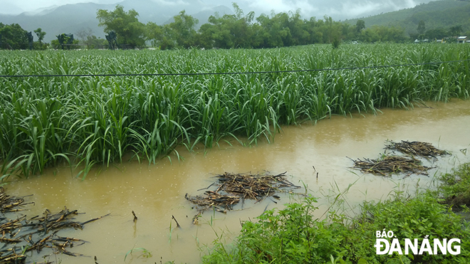 Many sugarcane fields in Hoi Yen and Nam Yen villages, Hoa Bac Commune heavily flooded